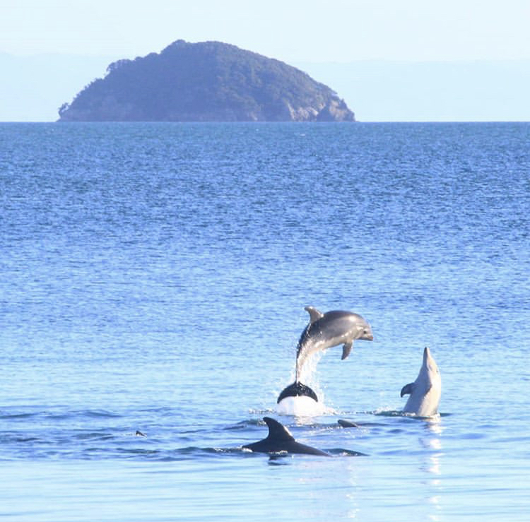 Photo: Marion Dastugue, Dolphins in the Coromandel.